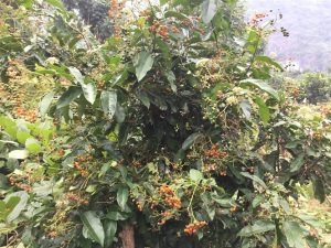 Mô hình trồng cây dược liệu ở Hòa Bình