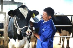 """600 """"triệu phú"""" nuôi bò sữa trên cao nguyên Mộc Châu"""