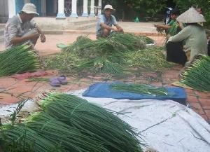 Hành lá Bình Tân nhận chứng chỉ VietGAP