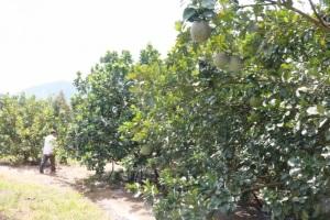 Bưởi da xanh trồng miền núi Khánh Hòa