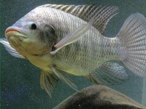 Gia Lai: Phát triển ngành nuôi cá rô phi hàng hóa