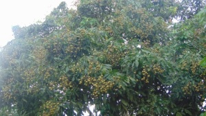 Đột phá trồng cây ăn quả theo VietGAP