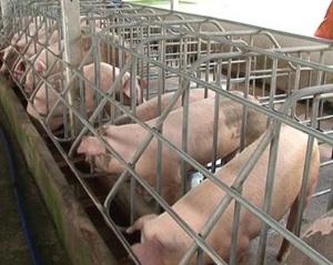 Hưng Yên: 600 hộ chăn nuôi VietGAP