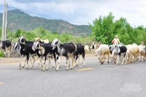 Ninh Thuận cải tạo đàn giống và phát triển chuỗi liên kết