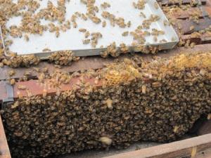 Săn ong cuối mùa
