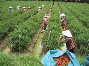 Vùng chuyên canh ớt xuất khẩu