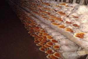 Sản xuất nấm sạch, không lo đầu ra