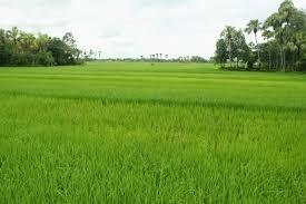 Kiên Giang: Thành lập Ban điều hành cánh đồng lớn
