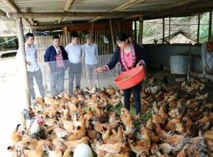 Hà Giang: Nuôi gà sạch thu nhập cao